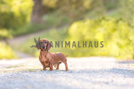 Dachsund in parkland looking at camera