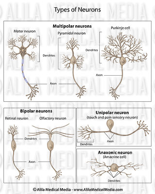 Alila medical media brain and nervous system images types of neurons labeled ccuart Images