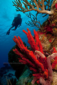 Scuba diver in silhouette above red rope sponge on Tormentos Reef divesite, Cozumel, Mexico