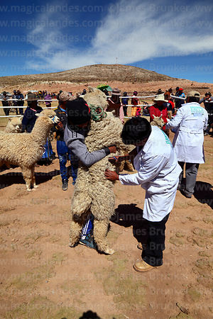 Judge checking the wool quality of an alpaca during competition, Curahuara de Carangas, Bolivia