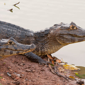 Caiman wildlife photos