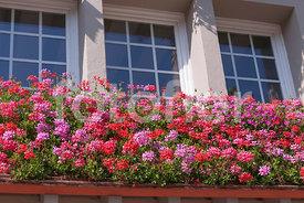 fotoflor toutes les photos et images de plantes fleurs jardins sur le th me fleurs d 39 t. Black Bedroom Furniture Sets. Home Design Ideas
