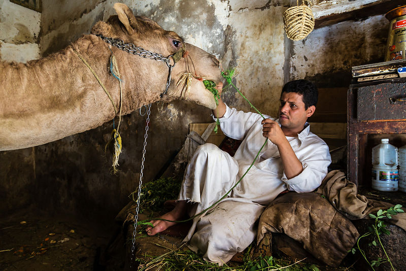 Camel Owner Feeding his Beast