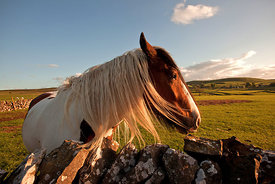 Palomino horse at Wardlow