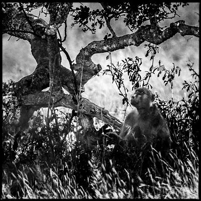 9863-Baboon_under_a_tree_Laurent_Baheux