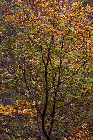 Autumn tree in Padley Wood