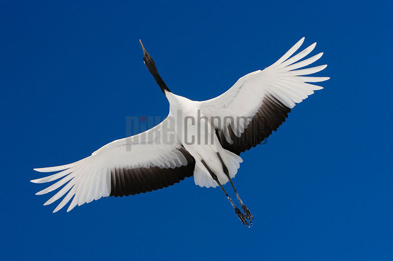 Red Crowned Crane in Flight International Crane Center Akan Hokkaido Japan