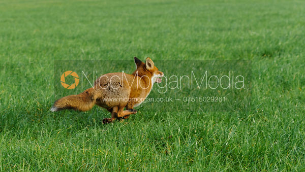 A red fox - Vulpes Vulpes - Royalty Free Image