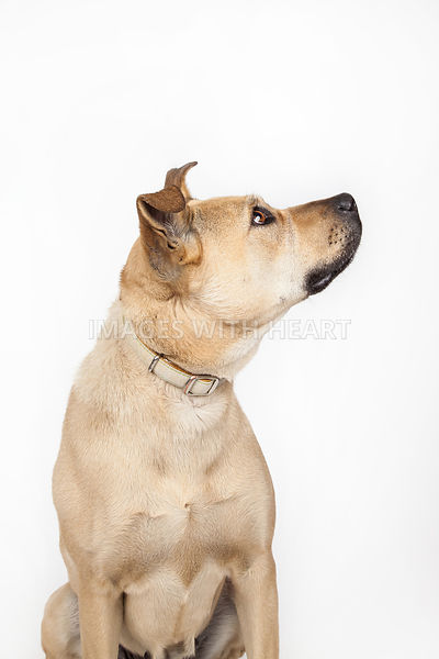 Large dog close up profile shot on white background