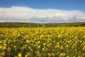 Rapeseed (Brassica napus) plants growing on altiplano, Bolivia