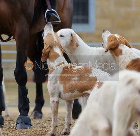 Hounds looking up to the huntsman with the Cottesmore Hunt in Ashwell