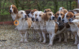 Westerby Bassets