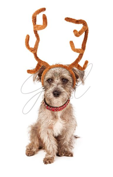 Terrier Puppy With Reindeer Antlers