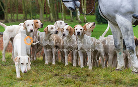 Cottesmore hounds with the Huntsman's horse