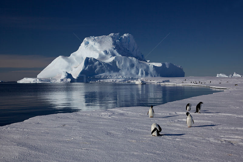Adelie penguins (Pygoscelis adeliae) preening at edge of ice, Antarctica.