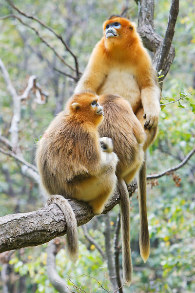 Golden Monkeys Sitting on Tree