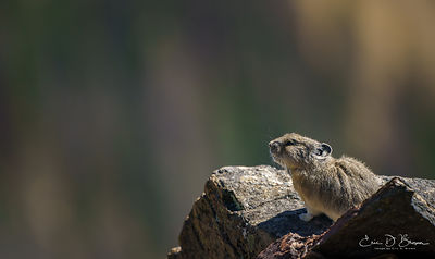 Rocky Mountain Pika