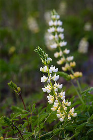 White Lupine, Newville Road