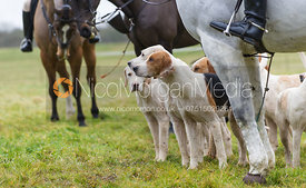 Cottesmore Hunt hounds with the Huntsman's horse