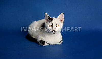 Black and white kitten with mustache lying down on blue background paper in loaf position looking at the camera