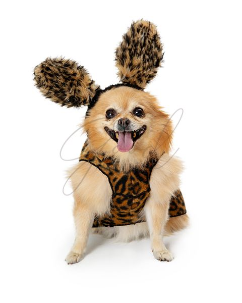 Pomeranian Dog Dressed as Wild Animal