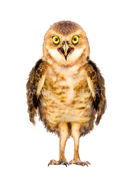 Burrowing Owl Bird Character Isolated