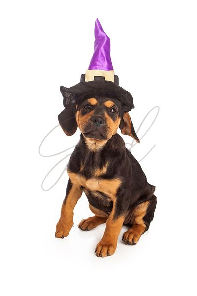 Puppy Wearing Halloween Witch Hat