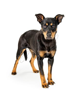 Doberman Pinscher Mixed Breed Dog Standing Isolated
