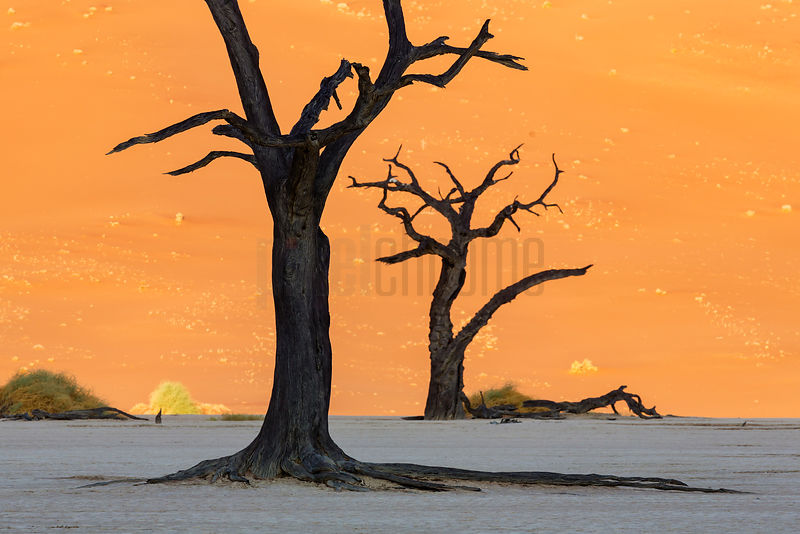 Dead Camelthorn Trees Silhouetted against a Namib Dune at Dead Vlei