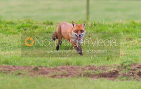 Red Fox (Vulpes Vulpes)- Royalty Free Image