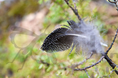 Male Capercaillie's Feather on Lekking Site