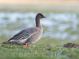 Pink-footed Goose Anser brachyrhynchus Holkham Marshes North Norfolk winter