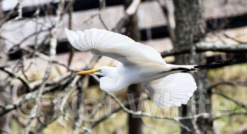 Egret--April_01_2017-Nat_White