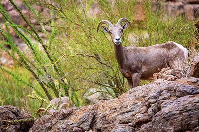 Bighorn Sheep in Arizona Canyon