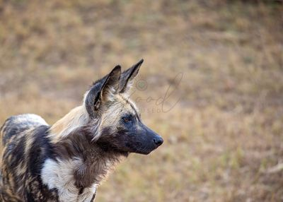 African Wild Dog With Copy Space