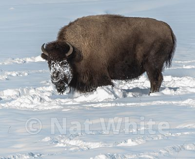 Bison_in_snow-1005_January_20_2018_Nat_White