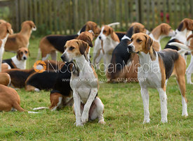 Belvoir hounds at the meet - The Belvoir Hunt at The Wolds Farm 3/12