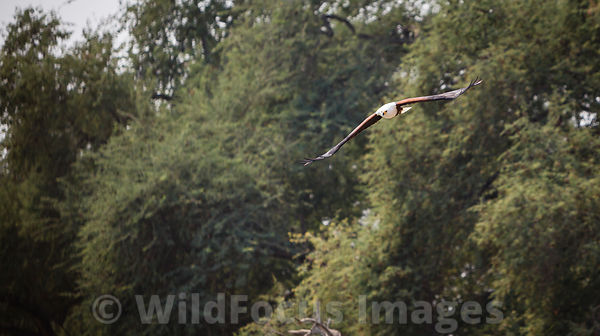 African Fish Eagle (Haliaeetus vocifer), Chisasiko Pool, Mana Pools National Park, Zimbabwe; Landscape