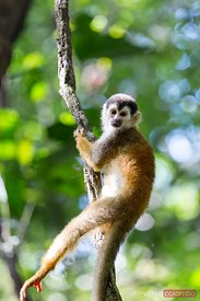 Squirrel Monkey (Saimiri sciureus) in the green forest of Costa Rica