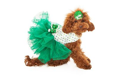 Poodle dog wearing green dress
