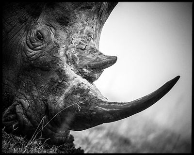 4671-Horn_of_white_rhino_South_Africa_2008_Laurent_Baheux