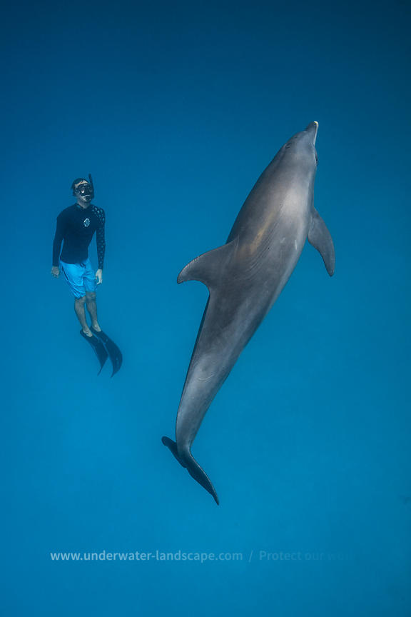 Dolphin and freediver