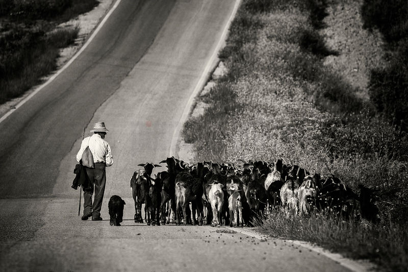 Andalucían Shepherd Leading his Sheep down a Country Road