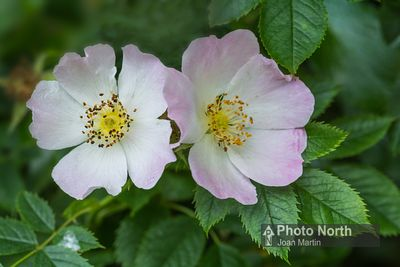 ROSE 02B - Dog rose flowers