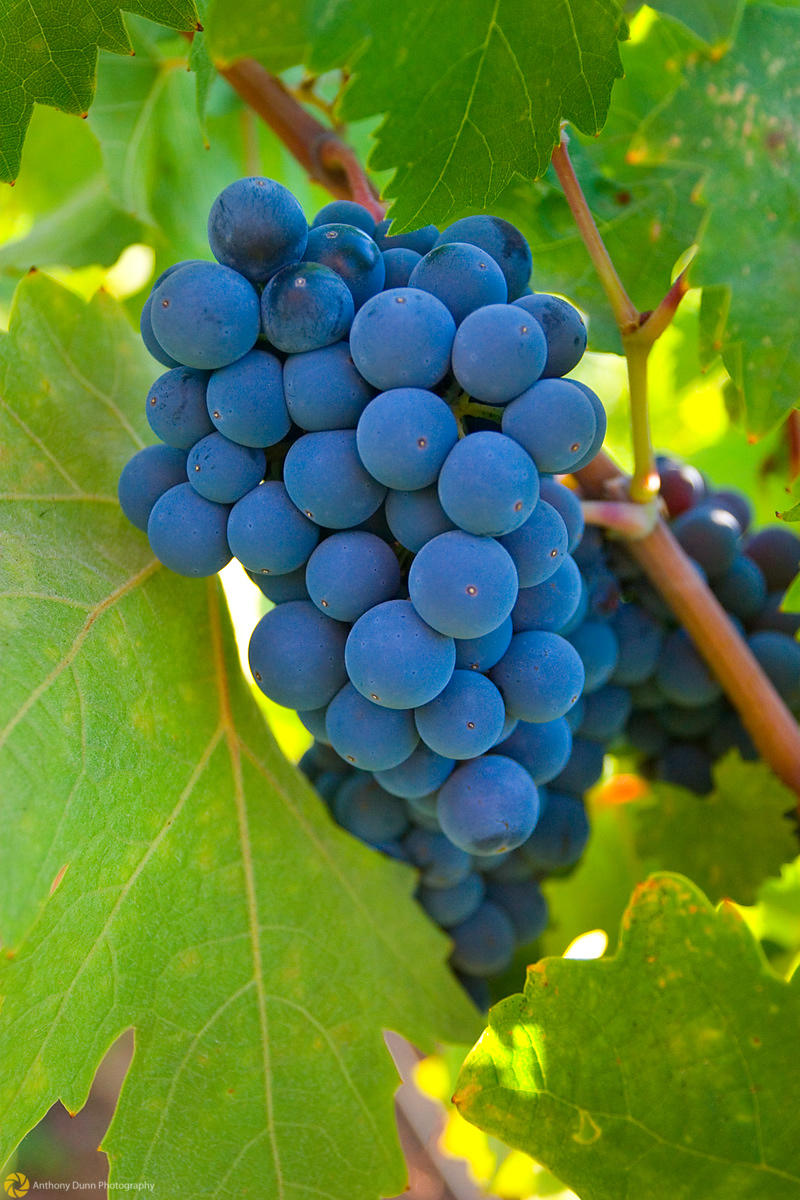 Ripe Grapes #3