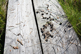 Wild Forest Reindeer Droppings on Duckboard