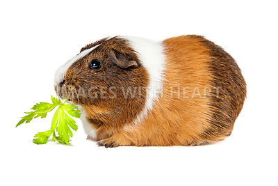 Guinea Pig Eating Celery