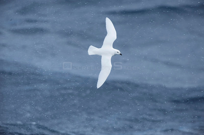 Snow petrel (Pagodroma nivea) flying off Cape Adare, Ross Sea, Antarctica, February.