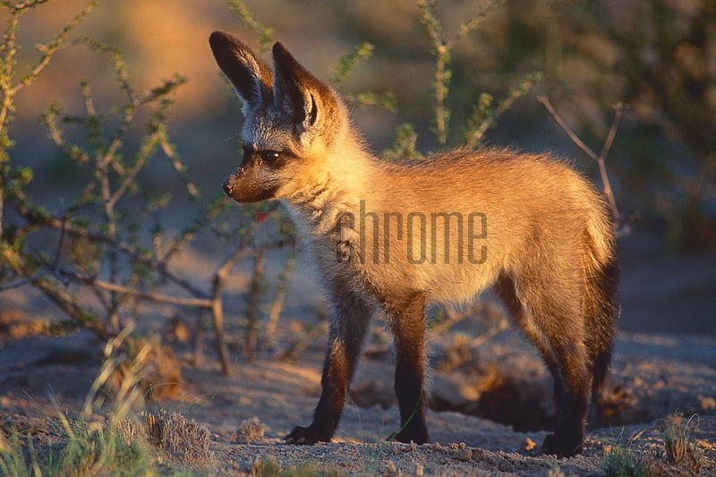 Bat Eared Fox Cub