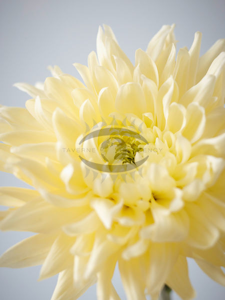 Chrysanthemum Photos